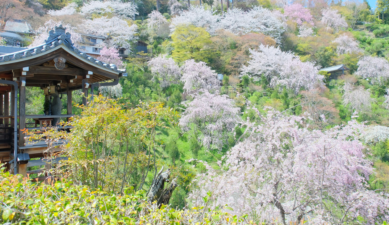 善峯寺の桜とは?