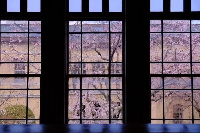 京都府庁の桜の撮影スポット