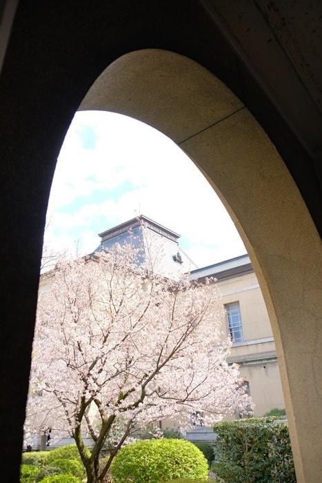 京都府庁のアーチ越しの桜 撮影スポット
