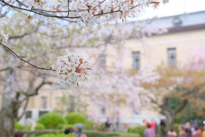 京都府庁の容保桜