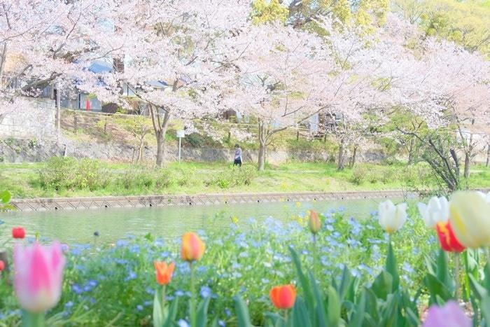 伏見十石舟周辺の桜撮影スポット 桜とチューリップ