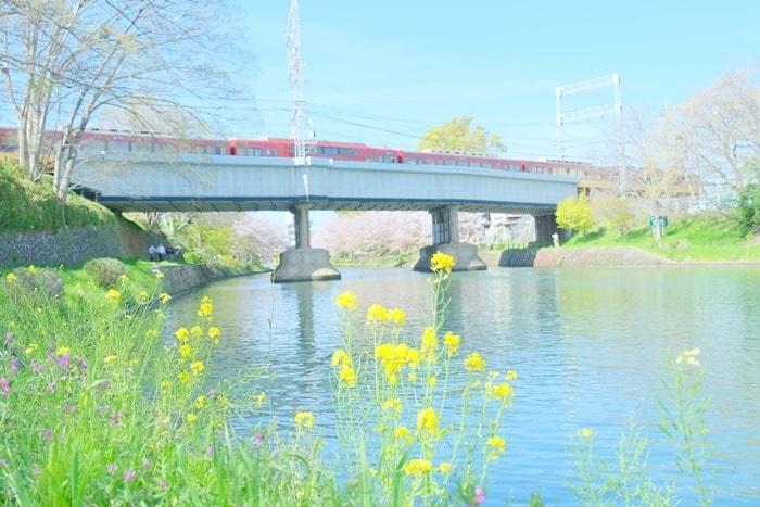 伏見十石舟周辺の桜撮影スポット 電車と菜の花と桜