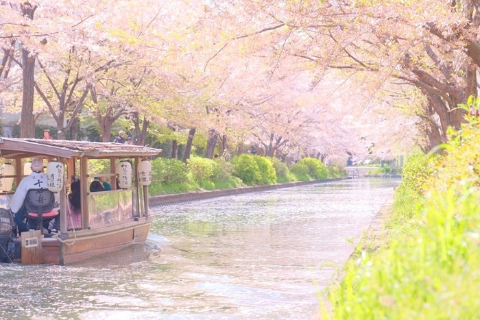 伏見十石舟周辺の桜撮影スポット寺田屋近くの桜並木