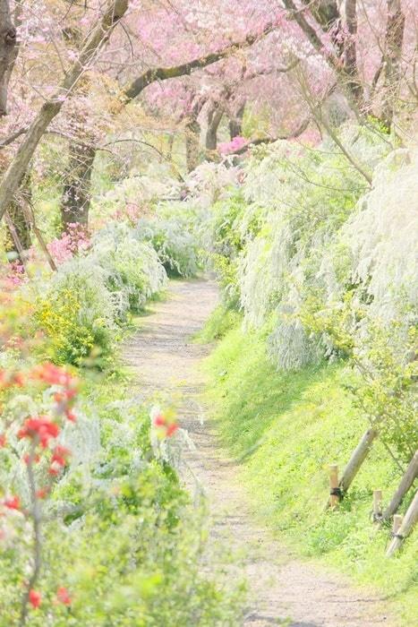 原谷苑おすすめ撮影スポット お花の通路