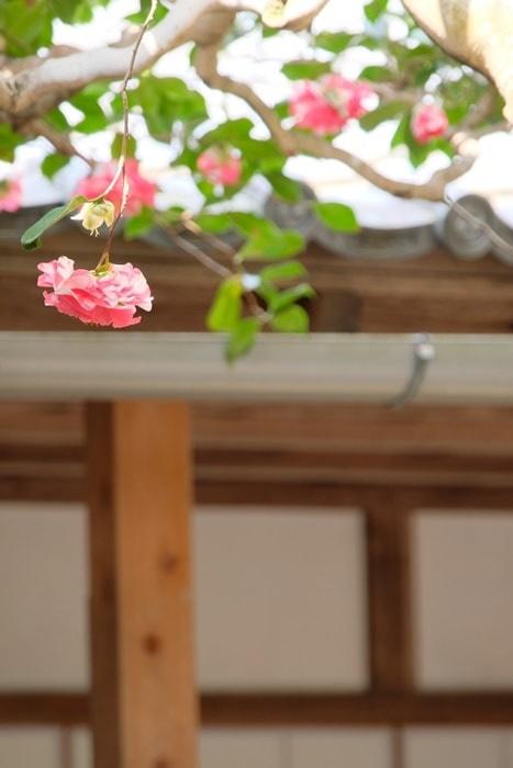 法然院 三銘椿の庭の椿