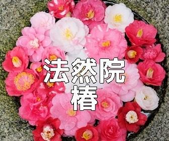 京都・椿の撮影スポット 法然院