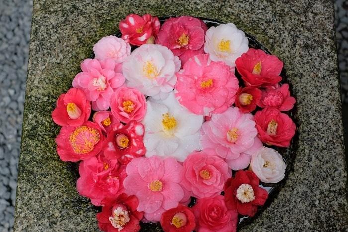 法然院椿の撮影スポット  手水鉢の椿