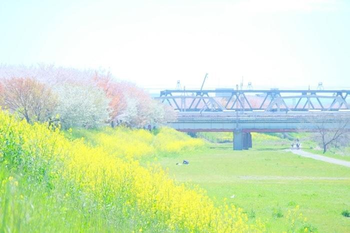桂川の桜と菜の花の見頃と混雑