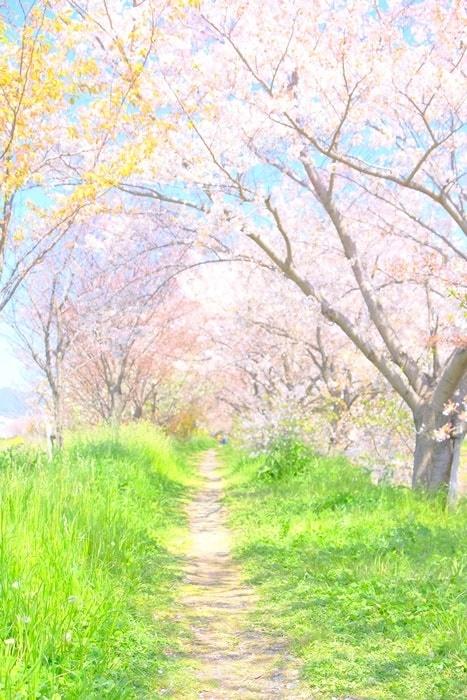 桂川の桜撮影スポット 土手の上の桜並木