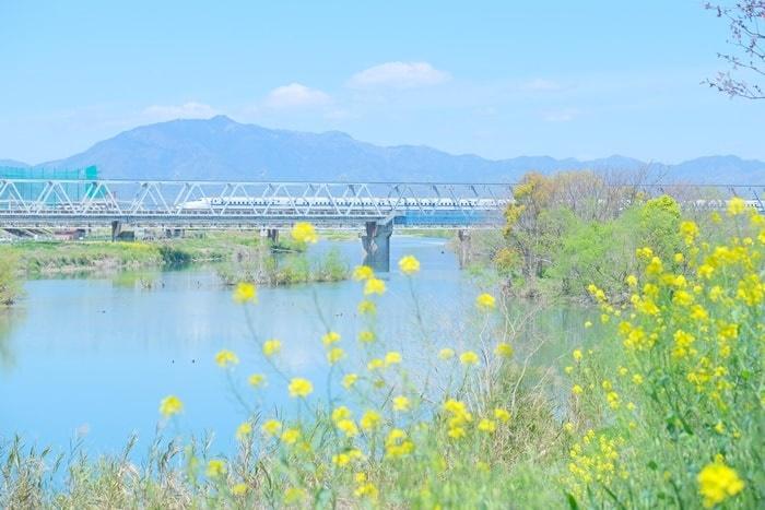 桂川の撮影スポット 菜の花と電車