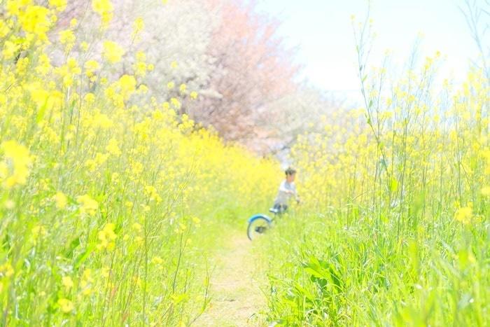桂川の撮影スポット2:菜の花畑と自転車
