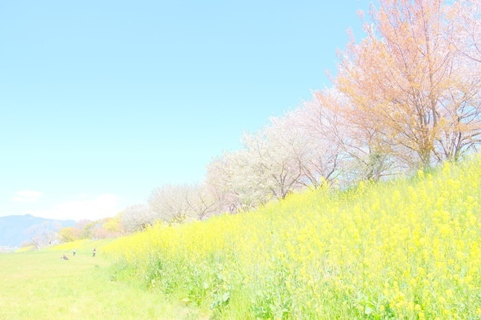 京都 菜の花の桜の撮影スポット 桂川