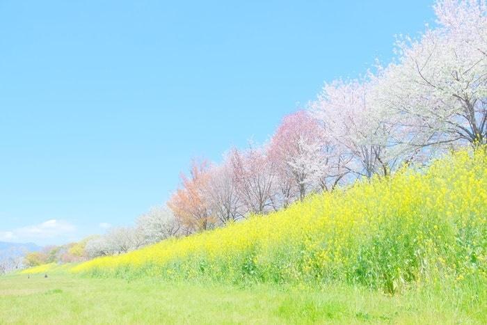 桂川の撮影スポット1:桜並木と菜の花畑
