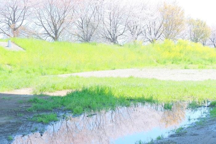 水たまりに映り込んだ桜 桂川の桜