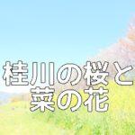 桜と菜の花の撮影スポット桂川