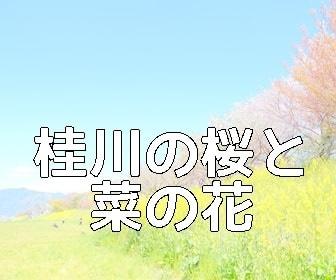 京都・菜の花の撮影スポット・桂川