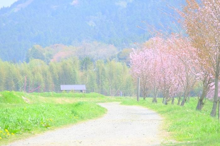 大原菜の花シーズンの桜並木