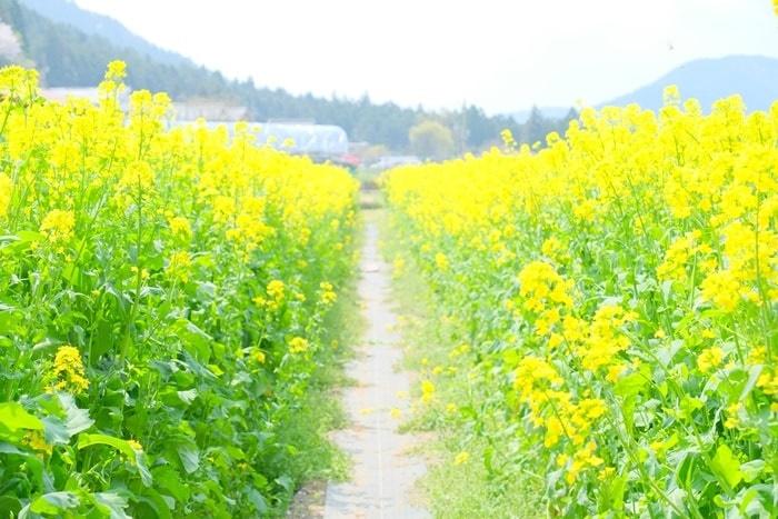 志ば久さんの展望台・菜の花畑 画像