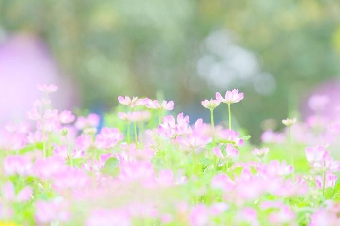 志ば久さんの展望台・菜の花畑となりのレンゲ畑 画像