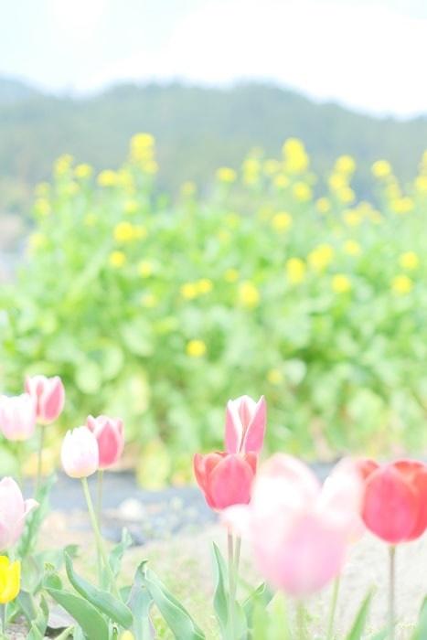 大原里の駅 北の菜の花畑とチューリップ画像