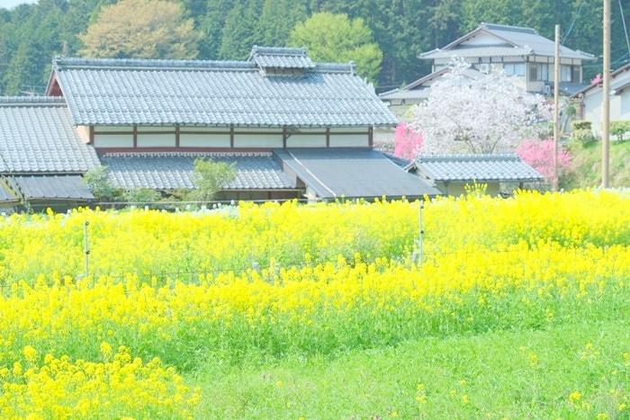 大原の田園風景に広がる菜の花撮影スポット