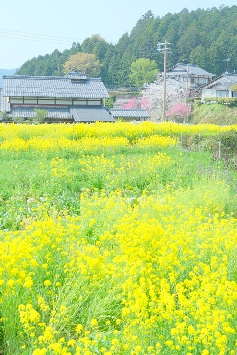 大原寂光院へ向かう里山野の中の菜の花風景画像