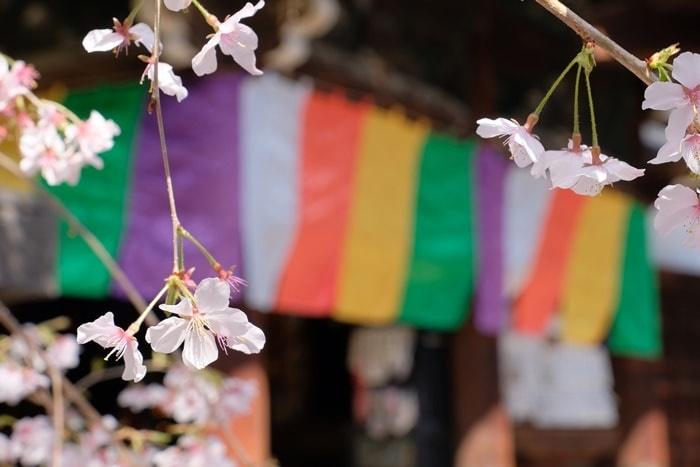 六角堂 五色幕と御幸桜