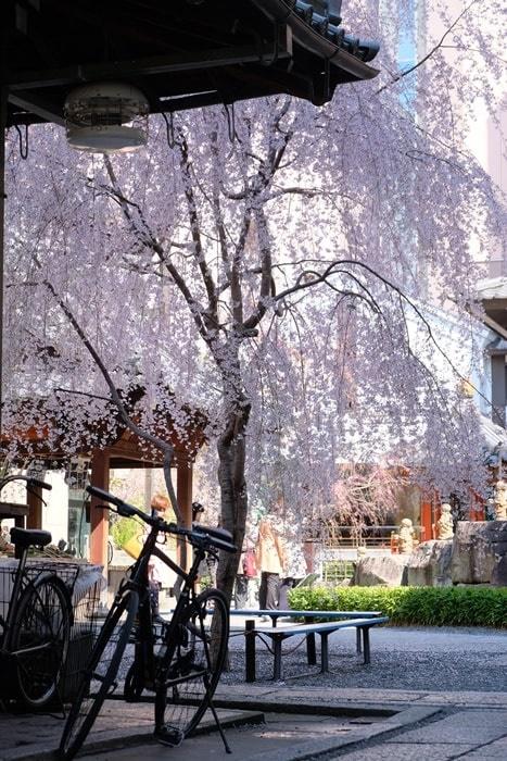 六角堂の御幸桜
