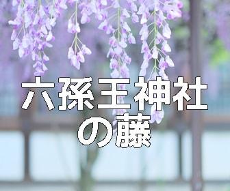 京都・藤の撮影スポット 六孫王神社の藤