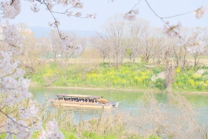 背割堤 さくらであいクルーズと菜の花の撮影スポット