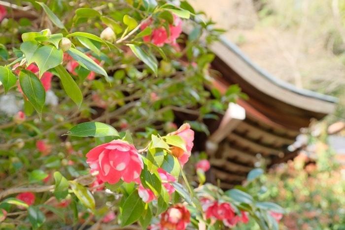 大豊神社の椿 撮影スポッ