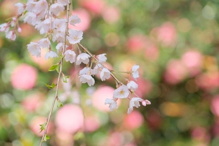 大豊神社 境内の桜と椿