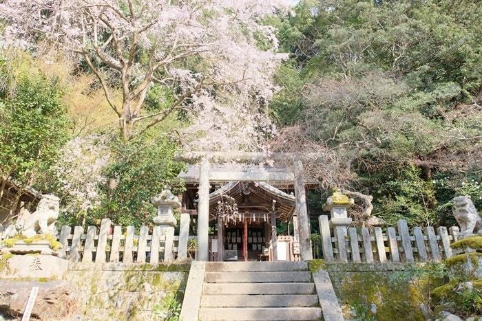 大豊神社の撮影スポット 桜と梅の競演