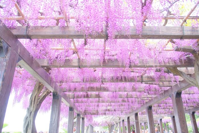 京都 藤の撮影スポット 鳥羽