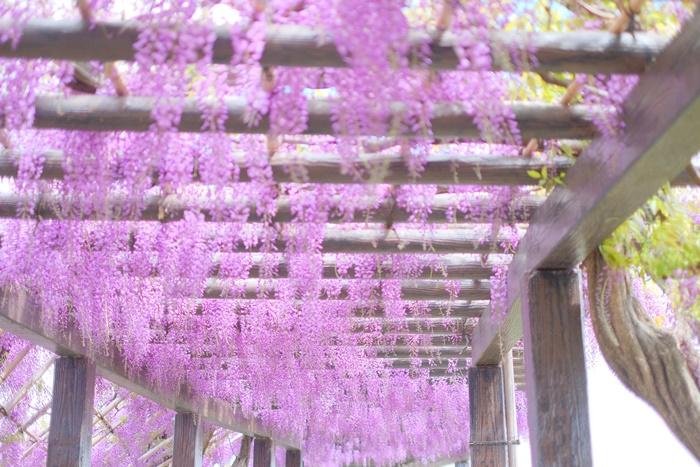 長い藤の回廊ー鳥羽の藤の撮影スポット