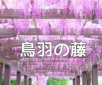 京都・藤の撮影スポット 鳥羽の藤