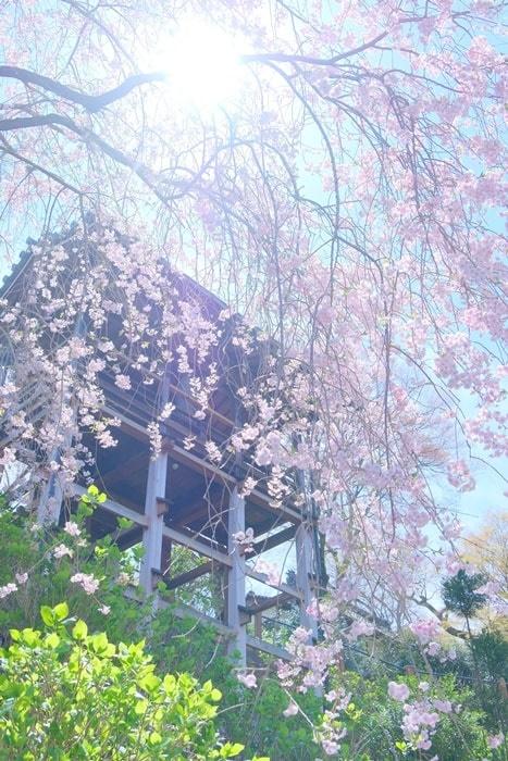 善峯寺の幸福地蔵周辺 桜撮影スポット