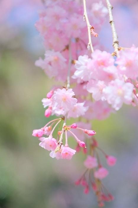 善峯寺の桜
