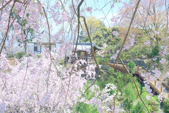 善峯寺の桜撮影スポット上から見下ろす桜
