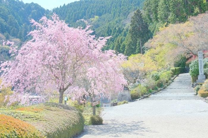善峯寺 釈迦堂付近の桜