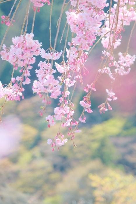 善峯寺釈迦堂付近の桜