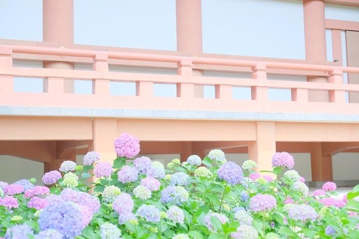 智積院 金堂とパステルカラーの紫陽花