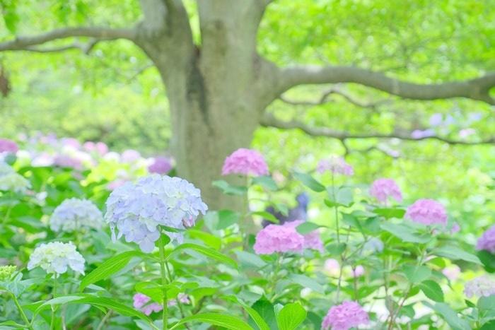 智積院の紫陽花 お花畑 画像