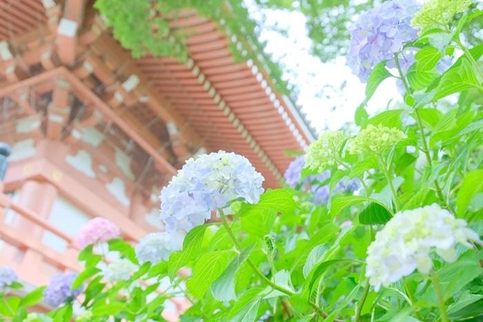 智積院 金堂と紫陽花 画像