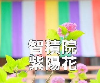 京都・紫陽花の撮影スポット・智積院