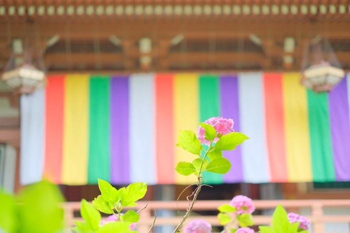 智積院 五色幕と紫陽花画像