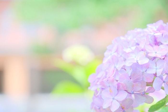 智積院のパステルカラーの紫陽花