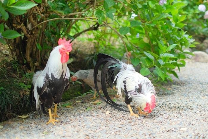 観音寺紫陽花山の下にいる小国鶏 画像