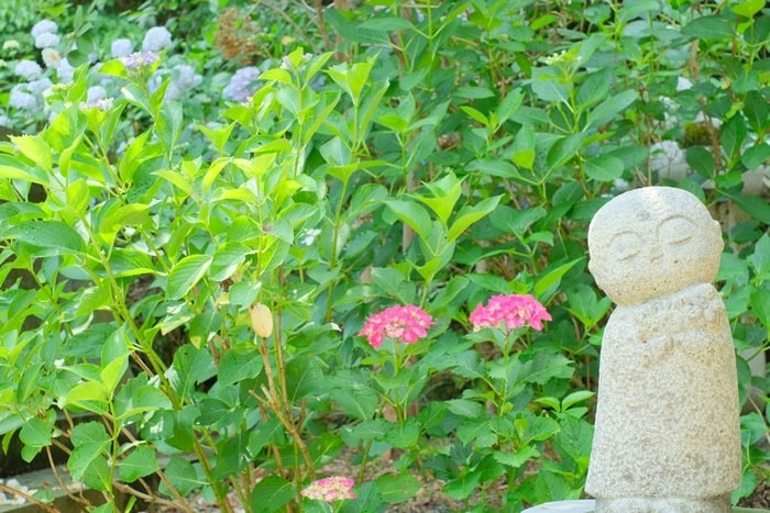 観音寺 かわいいお地蔵さんと紫陽花画像