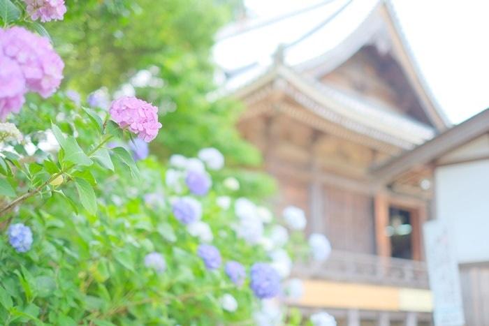 観音寺 本堂と紫陽花の画像
